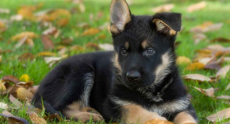 I beg for German Puppy